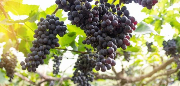 fundo-desfocado-de-uva-uvas-pendurado-no-foco-de-selecao-de-arvore-e-luz-justa_38404-224